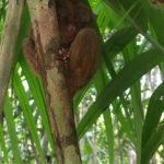 ボホール島のメガネザル